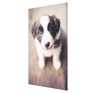 Border Collie Puppy With Blue Eyes Canvas Print