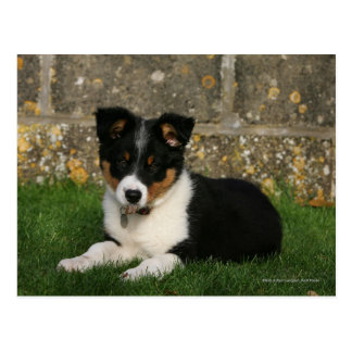 Border Collie Puppy with Leaf in Mouth Postcard