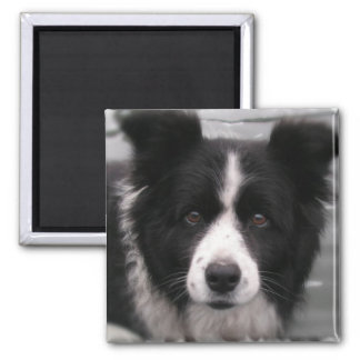 Border Collie Square Magnet