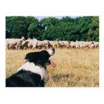 Border Collie Watching Sheep