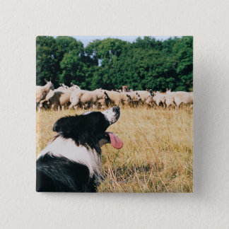 Border Collie Watching Sheep 15 Cm Square Badge