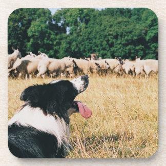 Border Collie Watching Sheep Beverage Coasters