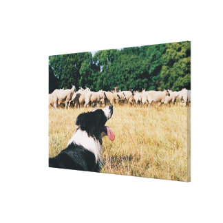 Border Collie Watching Sheep Canvas Print