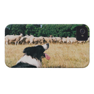 Border Collie Watching Sheep iPhone 4 Cases