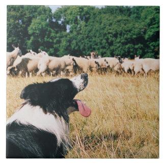 Border Collie Watching Sheep Large Square Tile