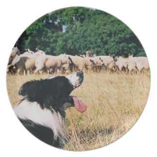 Border Collie Watching Sheep Plate
