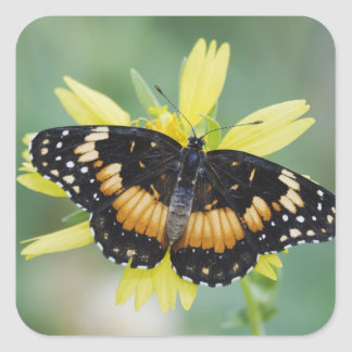 Bordered Patch Chlosyne lacinia adult on Square Stickers