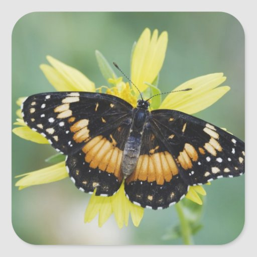 Bordered Patch, Chlosyne lacinia, adult on Square Stickers