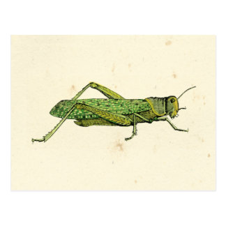 Bordered Print of Green Grasshopper Postcard