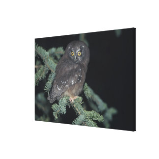 Boreal Owl on Branch Stretched Canvas Prints
