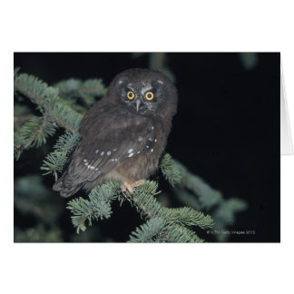 Boreal Owl on Branch Card