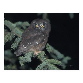 Boreal Owl on Branch Postcard