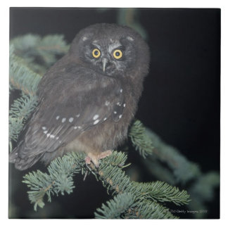 Boreal Owl on Branch Large Square Tile