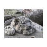 Bored Snow Leopard Cub Canvas Print