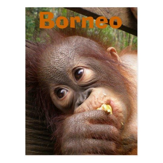 Borneo Baby Orangutan Postcard