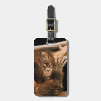 Borneo. Captive orangutan, or pongo pygmaeus. Luggage Tag