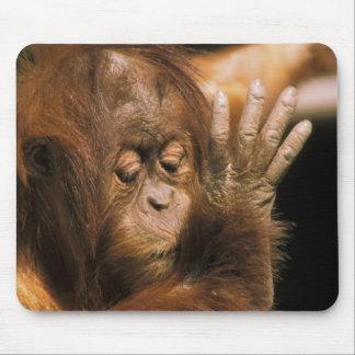 Borneo. Captive orangutan, or pongo pygmaeus. Mouse Pad