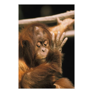 Borneo. Captive orangutan, or pongo pygmaeus. Photo Print