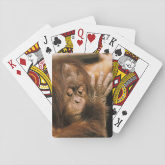 Borneo. Captive orangutan, or pongo pygmaeus. Playing Cards
