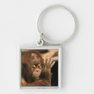 Borneo. Captive orangutan, or pongo pygmaeus. Silver-Colored Square Key Ring