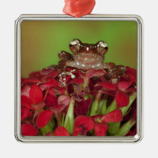 Borneo. Close-up of Cinnamon Tree Frog on red Christmas Ornament