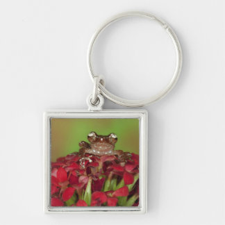 Borneo. Close-up of Cinnamon Tree Frog on red Key Ring