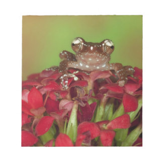 Borneo. Close-up of Cinnamon Tree Frog on red Notepad