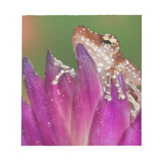 Borneo. Close-up of Cinnamon Ttree Frog. Credit Notepad