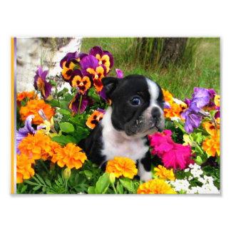 Boston terrier art photo