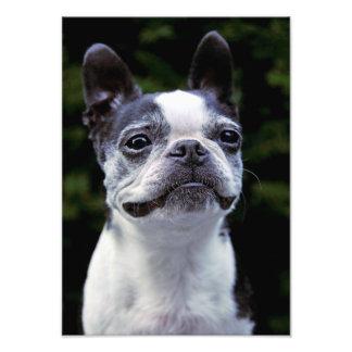 Boston Terrier Color Photo Print