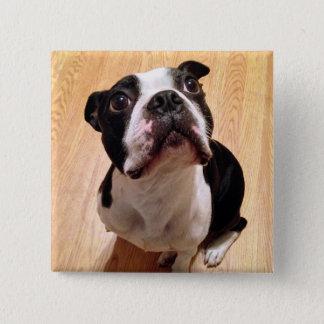 Boston Terrier Dog 15 Cm Square Badge