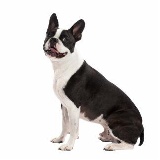 Boston Terrier dog beautiful photo sculpture, gift Standing Photo Sculpture