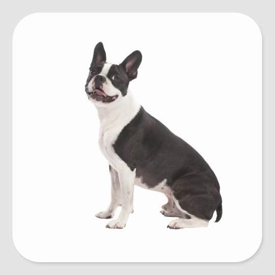 Boston Terrier dog beautiful photo stickers, gift Square