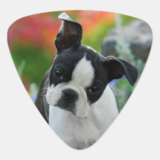 Boston Terrier Dog Cute Puppy Portrait - Plectrum