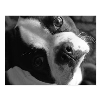 Boston Terrier Dog Postcard