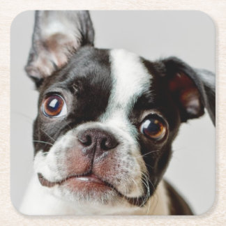 Boston Terrier dog puppy. Square Paper Coaster