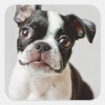 Boston Terrier dog puppy. Square Sticker
