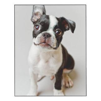 Boston Terrier dog puppy.