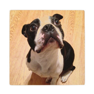 Boston Terrier Dog Wood Coaster