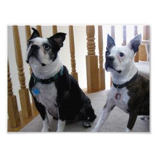 Boston Terrier dogs Photo