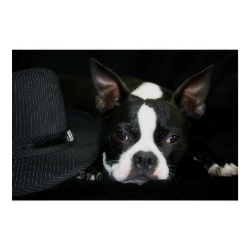 Boston Terrier - Hats off to you! Posters