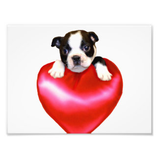 Boston terrier heart photo print