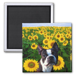 Boston Terrier in Sunflowers square magnet