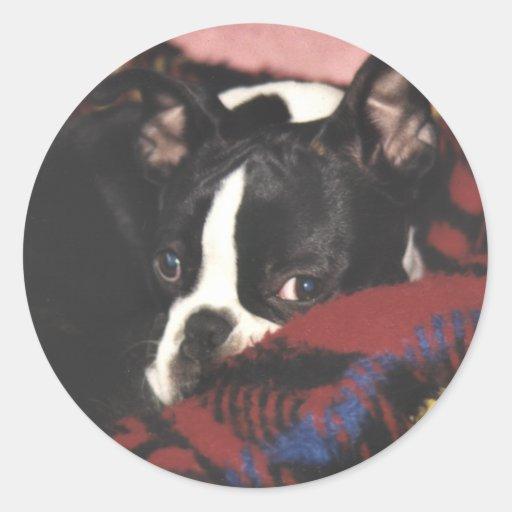 Boston Terrier:  Peek-a-Boo Sticker