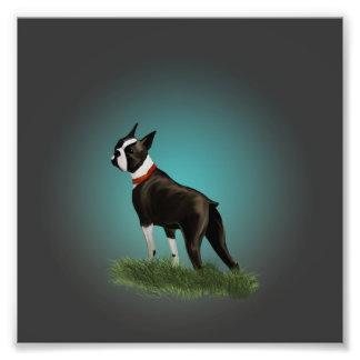 Boston Terrier Photo