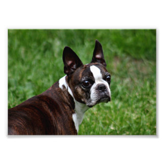 Boston terrier photo print