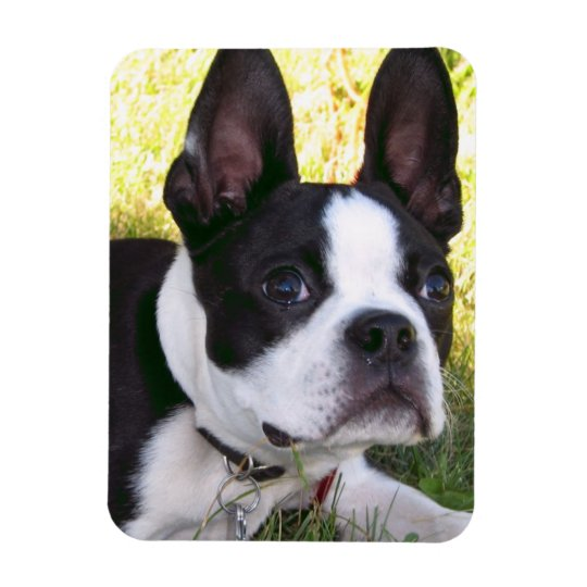 Boston Terrier Pup Flexible Magnet