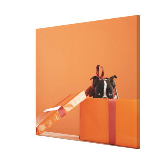 Boston terrier puppy in gift box canvas print