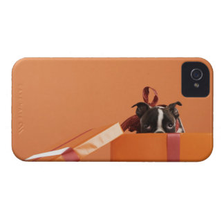Boston terrier puppy in gift box iPhone 4 covers