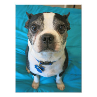 Boston Terrier sitting on a bed Photo Print